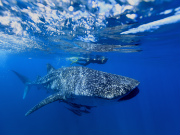 Ningaloo Whale Shark Season 2014 begins