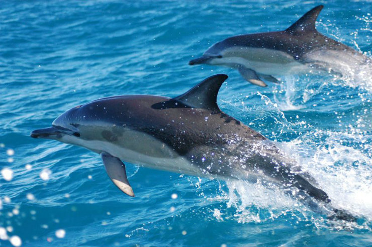 Dolphins are a common sight in the Bay of Islands