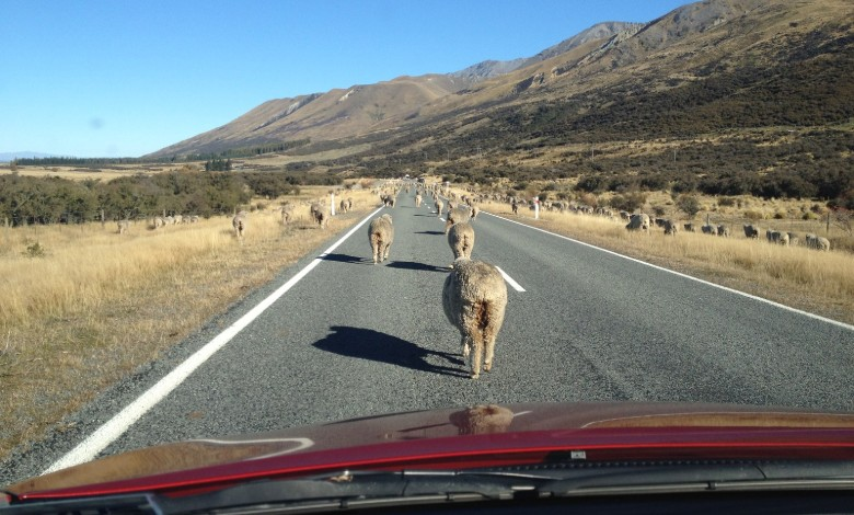 In rural New Zealand you can encounter sheep on the roads!