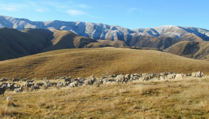 Limetree Lodge Wanaka, sheep in the hills